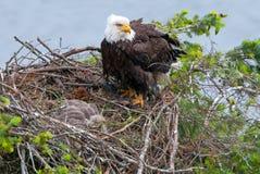 Łysy Eagle w gniazdeczku, kolumbiowie brytyjska, Kanada zdjęcia royalty free