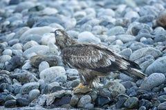 Łysy Eagle W locie w w połowie powietrzu obraz royalty free