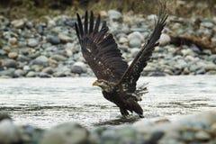 Łysy Eagle W locie w w połowie powietrzu obrazy stock