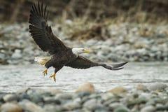 Łysy Eagle W locie w w połowie powietrzu obraz stock