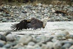 Łysy Eagle W locie w w połowie powietrzu zdjęcie stock