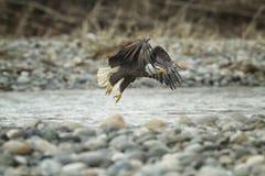 Łysy Eagle W locie w w połowie powietrzu zdjęcie royalty free
