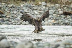 Łysy Eagle W locie w w połowie powietrzu zdjęcia royalty free