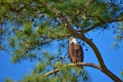 Łysy Eagle w słonecznym dniu z niebieskim niebem fotografia royalty free