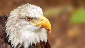 Łysy Eagle Z krwią na belfrze zdjęcia royalty free