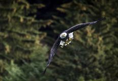 Łysy Eagle z rybą w Alaska fotografia royalty free