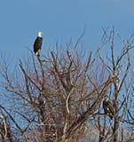 Łysy Eagles na drzewo wierzchołku obraz stock