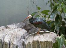łysy ibis obraz royalty free