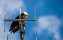 Łysy orzeł utrzymuje orła oko out Zdjęcie Stock
