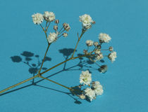 Łyszczec & x28; Baby& x27; oddechu flowers& x29; , światło, powiewne masy mały obrazy stock