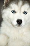 œil bleu de chien de traîneau sibérien Photos libres de droits