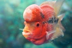 ŒPet för ¼ för Pseudorabora parvaï fisk Arkivbild