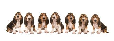 Ściółka 7 baset siedzi z rzędu obok each inny artesien normanda szczeniaka psy Zdjęcie Royalty Free