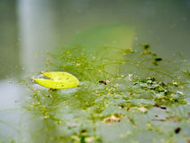 Ściółka lotosowy liść, alga Zdjęcia Stock