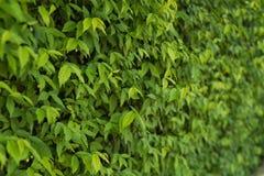 Ściana całkowicie zakrywająca z zielonym bluszczem opuszcza Fotografia Royalty Free
