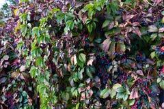 Ściana dzika bluszcz roślina z błękitnymi jagodami obraz royalty free