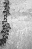 ściana winorośli Obrazy Royalty Free