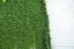ściana winorośli Zdjęcie Royalty Free