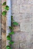 Ściana z cegieł i pełzacz Zdjęcia Stock
