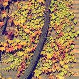 Ściana z cegieł przerastający z gronowymi liśćmi zdjęcie stock