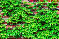 Ściana z cegieł przerastający z winogradami fotografia stock