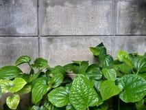 Ściana z cegieł tło z naturalnym krzakiem Obraz Royalty Free