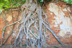 Ściana z cegieł z drzewo korzeniem w świątynnym Tajlandia Fotografia Royalty Free