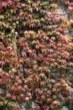 Ściana zakrywająca liśćmi; jesieni tło Obrazy Stock