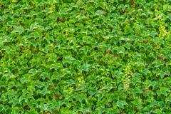 Ściana zakrywająca w bluszczu Zdjęcia Royalty Free