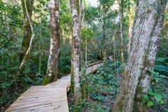 Ścieżka gigantyczny Yellowwood drzewo w Tsitsikamma, Południowa Afryka Fotografia Stock