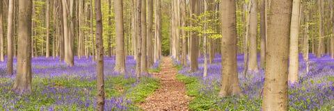 Ścieżka przez kwitnącego bluebell lasu w Belgia zdjęcia royalty free
