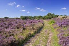 Ścieżka przez kwitnącego wrzosu w holandiach Zdjęcia Stock