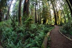 Ścieżka Przez Redwood drzew w Kalifornia Zdjęcia Royalty Free