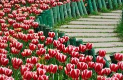 ścieżka tulipan zdjęcie royalty free