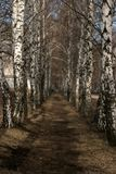 Ścieżka w brzoza gaju zdjęcia stock