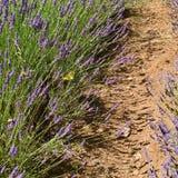 Ścieżka w lawendzie Lipiec, Włochy Obraz Stock