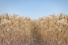Ścieżka w pięknym pszenicznym polu na słonecznym dniu Fotografia Stock