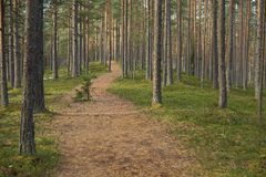 Ścieżka w sosnach Zdjęcia Stock