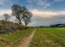 Ścieżka w zieleni polu z migdałowym okwitnięciem i niebieskim niebem zdjęcia stock