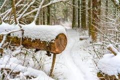 Ścieżka w zima lesie krzyżuje spadać i piłującej sosny zdjęcia royalty free