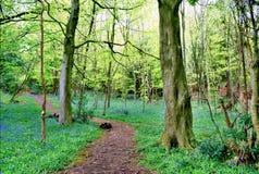 Ścieżki cewienie przez bluebell drewien Obrazy Royalty Free