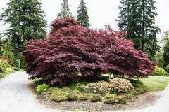 Ścieżki Wokoło Masywnego Japońskiego Klonowego drzewa Obraz Royalty Free