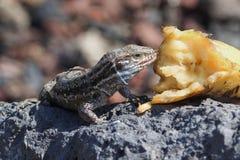 Ścienna jaszczurka, wyspy kanaryjskie obraz stock
