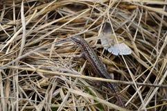 Ścienny jaszczurki dosypianie na trawie Fotografia Stock