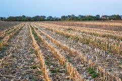 Ścierniskowy pole Po Kukurydzanego żniwa Fotografia Royalty Free