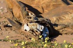 Ścierwo eland kłaść kompletnie w kalahar Zdjęcia Royalty Free