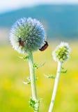ścig błękitny kwiatu obsiadanie Fotografia Stock