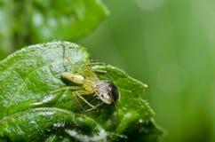 ściga je długiego noga pająka Zdjęcia Stock