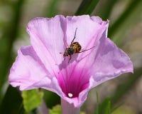 Ściga na Różowym ranek chwały kwiacie Zdjęcia Stock