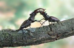 ścigi cervus lucanus jeleń zdjęcie royalty free